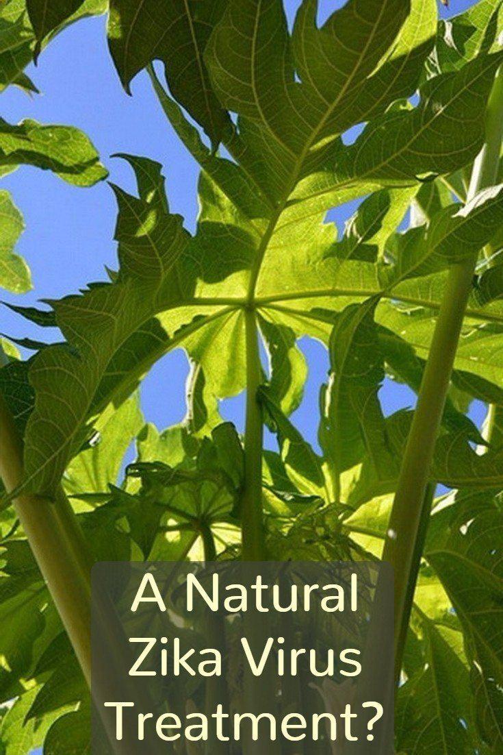 How to Use Papaya Leaf as a Natural Zika Treatment
