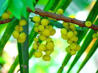 What is Amla