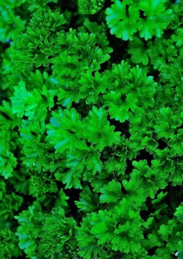 Parsley Nutritional Information